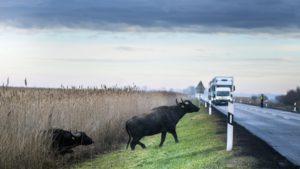 Buffalo _Germany_autoban