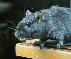 2-black-rat